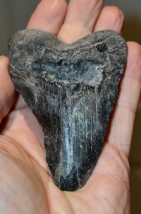 "A good example of a tooth from a ""Juvenile"" Megalodon [The largest shark ever] SOLD"